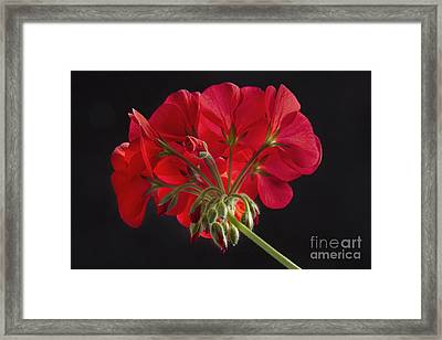 Red Geranium In Progress Framed Print
