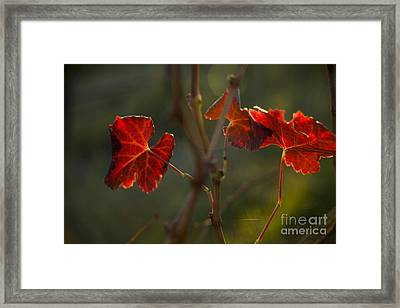 Red Grape Leaves Framed Print by Charmian Vistaunet