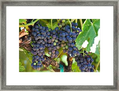 Red Grapes On The Vine Framed Print