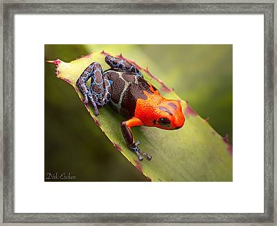 Red Headed Poison Dart Frog Framed Print by Dirk Ercken