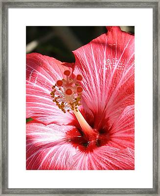 Red Hibiscus Framed Print by Bruce Bley