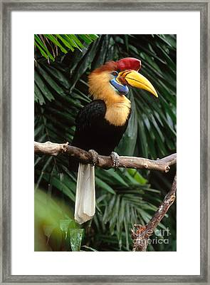 Red-knobbed Hornbill Framed Print by Art Wolfe