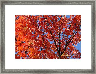 Red Leaves Of Autumn Framed Print by David Birchall