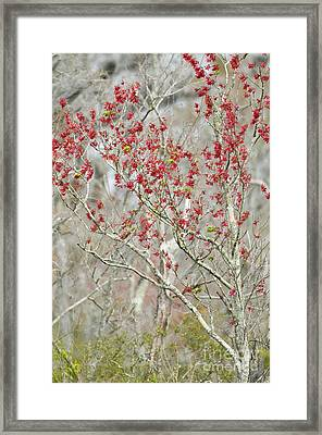 Red Maple In Spring Framed Print by William H. Mullins