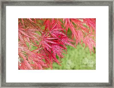 Red Maple Leaves Framed Print