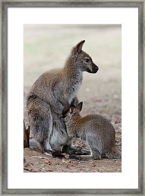 Red-necked Wallaby, Subspecies Framed Print by Martin Zwick