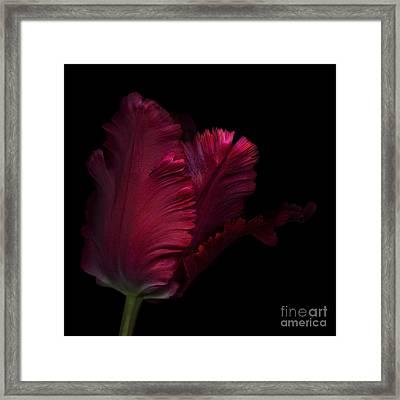 Red Parrot Tulip  Framed Print