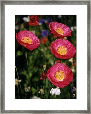 Red Poppies Framed Print by Robert Lozen