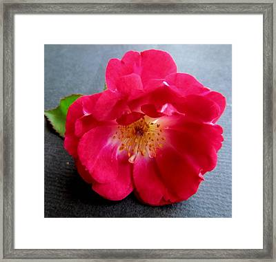 Red Rose Framed Print by Joyce Woodhouse