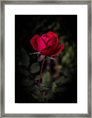 Red Rose Of Love Framed Print by Kathleen Scanlan