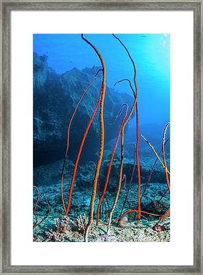 Red Sea Whips Framed Print by Georgette Douwma