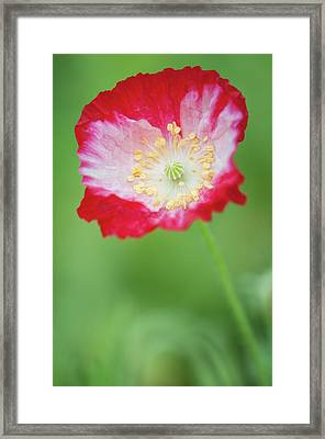 Red Shirley Poppy Framed Print by Maria Mosolova