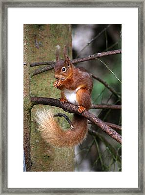 Red  Squirrel Framed Print by Tom Gallacher