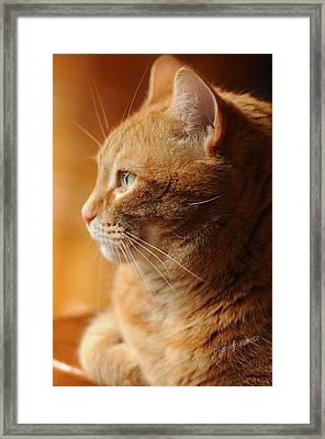 Red Tabby Cat Framed Print by Renee Forth-Fukumoto