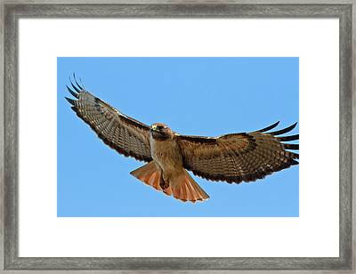 Red-tailed Hawk  Framed Print by Carl Jackson