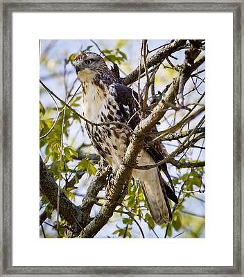 Framed Print featuring the photograph Red Tailed-hawk by Ricky L Jones