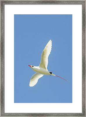 Red-tailed Tropicbird (phaethon Framed Print