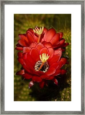 Red Torch Cactus  Framed Print by Saija  Lehtonen