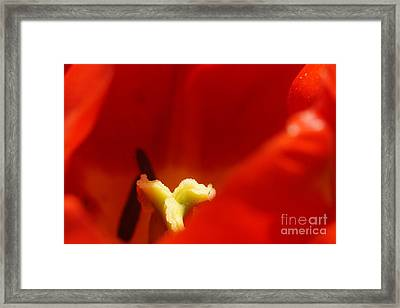 Red Tulip Calyx 3 Framed Print