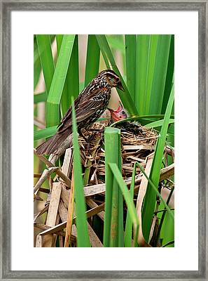 Red Wing Black Bird Feeding Young Framed Print