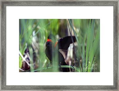 Red-winged Blackbird Framed Print by Steven Ralser