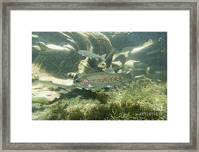 Redband Trout Oncorhynchus Mykiss Framed Print by William H. Mullins