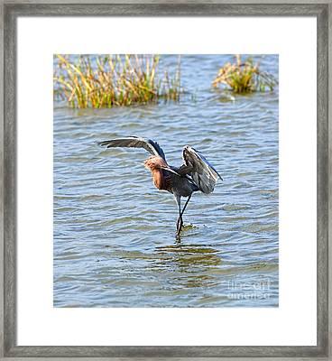 Reddish Egret Canopy Feeding Framed Print