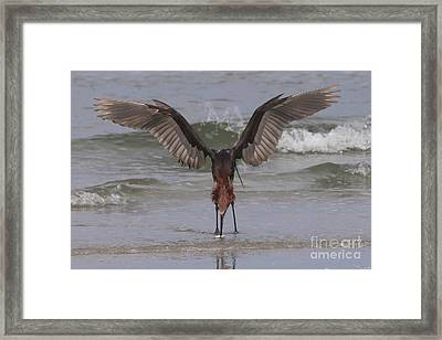 Reddish Egret Fishing Framed Print