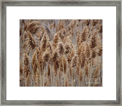 Wind Blown Redish Brown Plants Framed Print