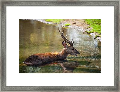 Refreshing 3. Male Deer In The Pampelmousse Botanical Garden. Mauritius Framed Print