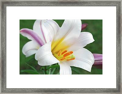 Regal Lily (lilium Regale) Framed Print by Ann Pickford