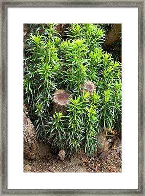 Regrowth Of Coppiced Yew (taxus Baccata) Framed Print