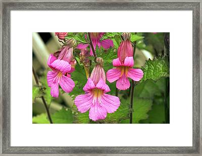 Rehmannia 'walberton's Magic Dragon' Framed Print by Adrian Thomas