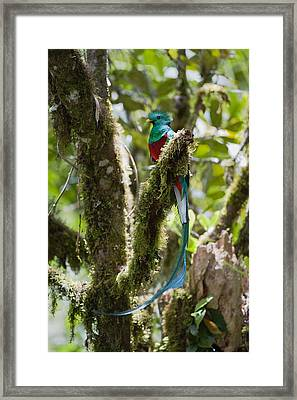 Framed Print featuring the photograph Resplendent Quetzal Male Costa Rica by Konrad Wothe