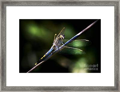 Resting Dragonfly Framed Print
