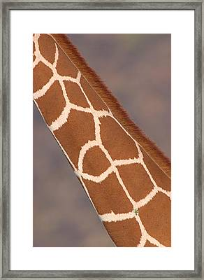 Reticulated Giraffe Giraffa Framed Print by Panoramic Images