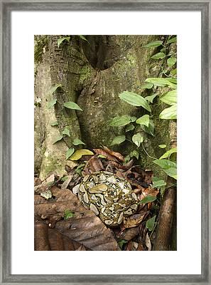 Reticulated Python Framed Print