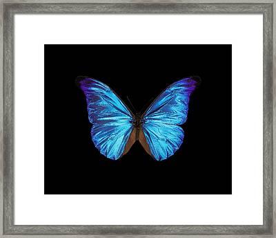 Rhetenor Blue Morpho Butterfly Framed Print by Science Photo Library