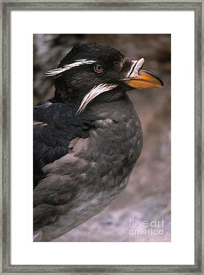 Rhinoceros Auklet Framed Print by Art Wolfe