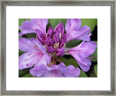 Framed Print featuring the photograph Rhododendron by Gene Cyr