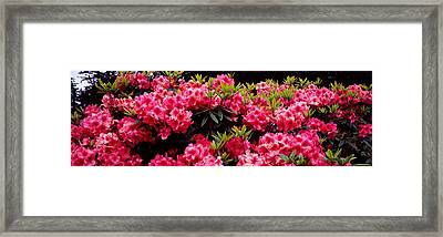 Rhododendrons Plants In A Garden, Shore Framed Print by Panoramic Images