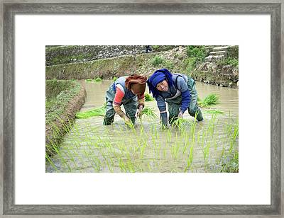 Rice Cultivation In Yunnan Province Framed Print by Tony Camacho