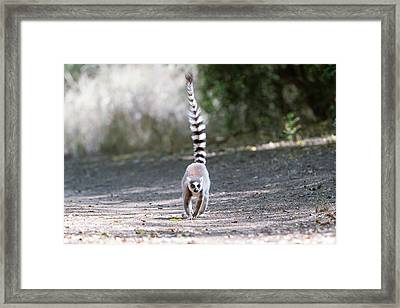 Ring-tailed Lemur Framed Print by Dr P. Marazzi