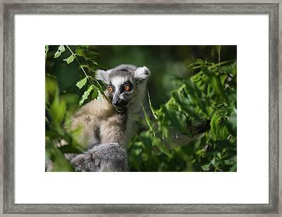 Ring Tailed Lemur (lemur Catta Framed Print