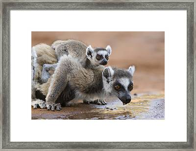 Ring-tailed Lemur Mother Drinking Framed Print