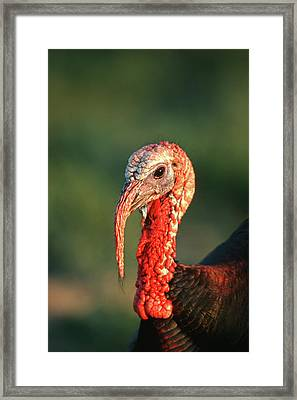 Rio Grande Wild Turkey (meleagris Framed Print by Richard and Susan Day