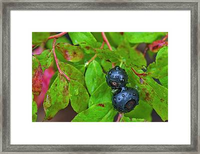 Ripe Huckleberries In A Light Rain Framed Print by Chuck Haney