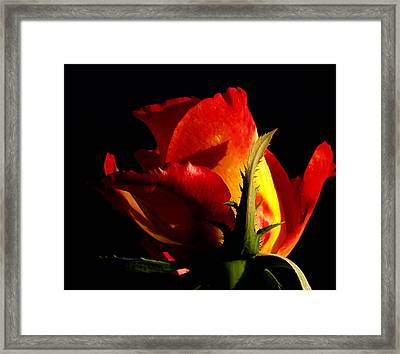 Rising Rose Framed Print by Camille Lopez