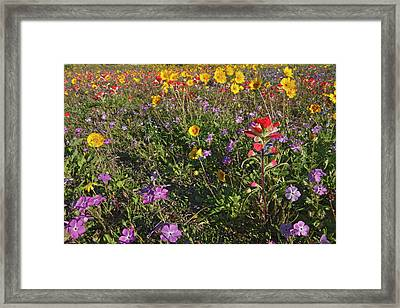 Roadside Wildflowers In Texas, Spring Framed Print