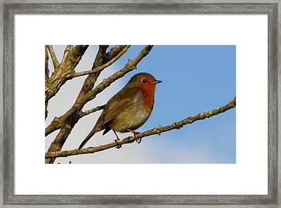 Robin Framed Print by Barbara Walsh